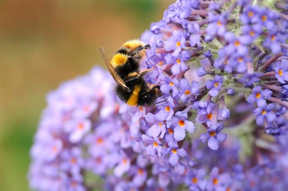 Bumble Bee feeding on a Buddleia bush. ©Lorne Gill/SNH