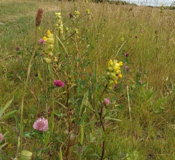 Thurso wildflower meadow