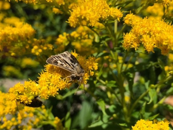 Antler moth enjoying nectar from solidago goldenrod
