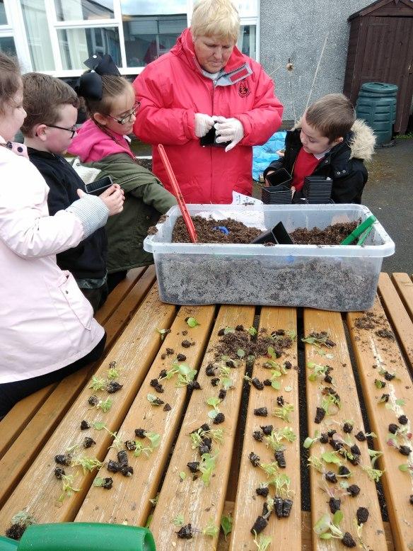 pennyburn ps seedlings (2)