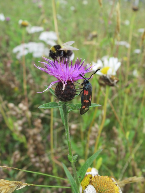 Blog - Greener Greenways - photo 0796 - pollinators on meadow wildflowers - Lenka Sukenikova