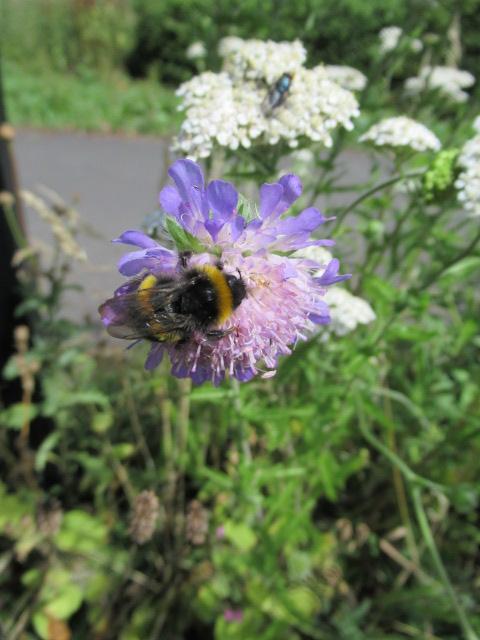 Blog - Greener Greenways - photo 0871 - pollinators on meadow wildflowers - Lenka Sukenikova