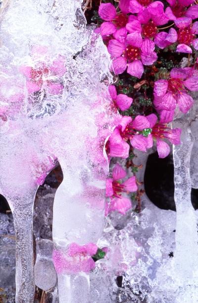 ice saxifrage
