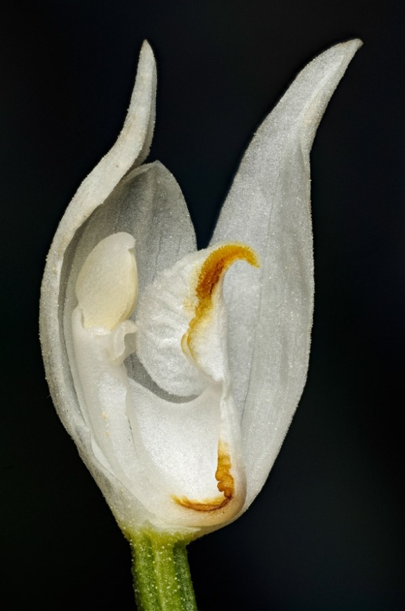 A Sword-leaved Helleborine flower. The orange sections are pollen mimics. Image: Jean Claessens, Naturalis Biodiversity Center.