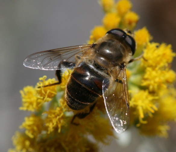 A male drone fly