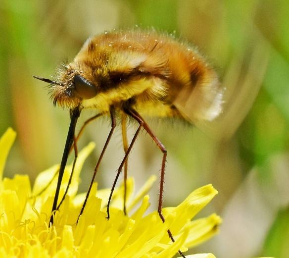 Bee Fly by Caroline