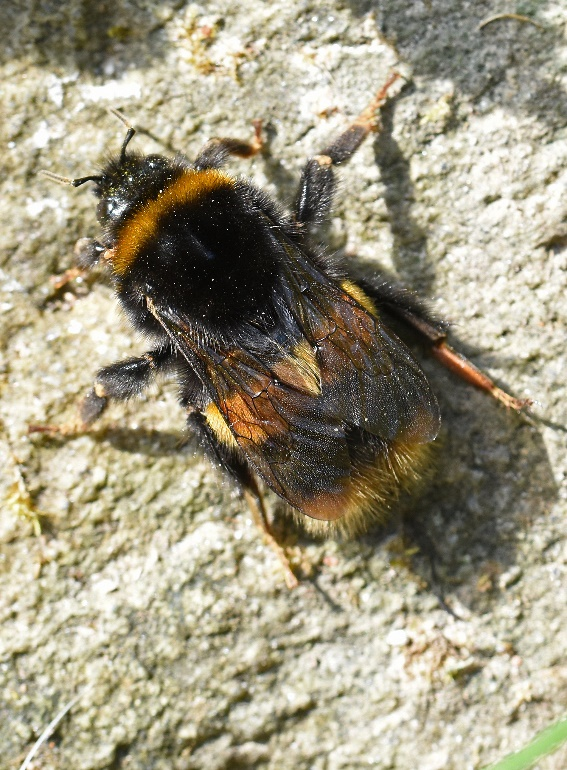 Buff tailed Bumblebee by Caroline