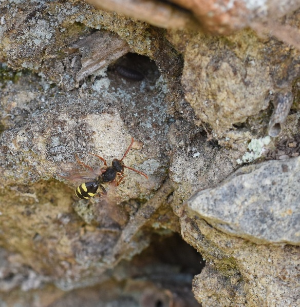 Nomad bee by Caroline