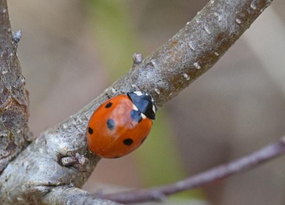 six spot ladybird by Caroline