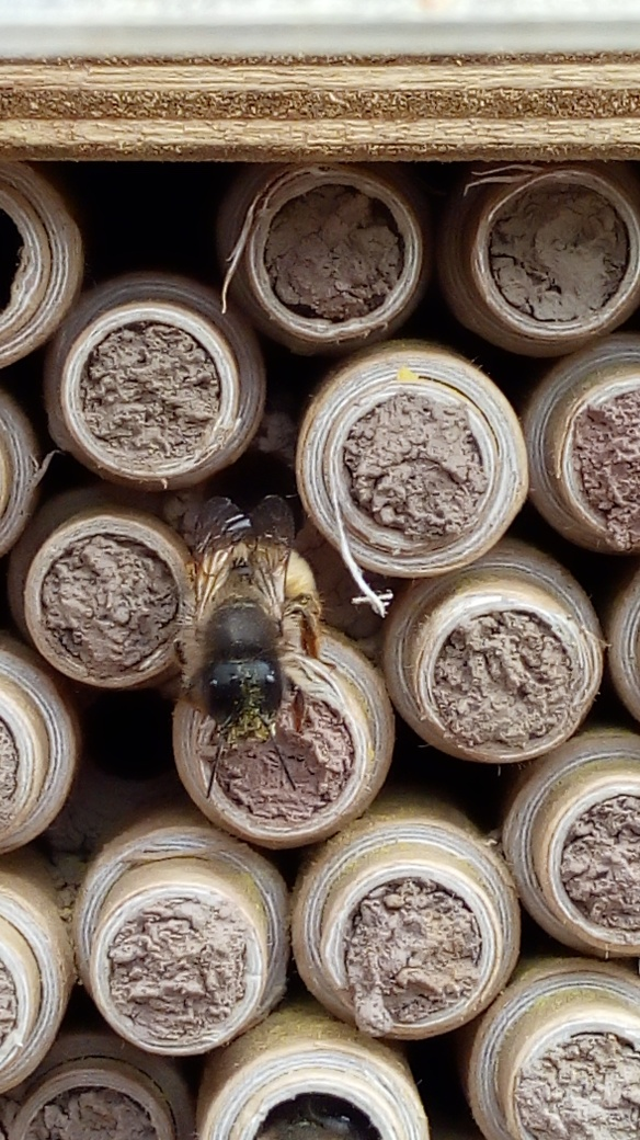 Bees - solitary - Osmia bicornis - nest entrance(vA4786735)