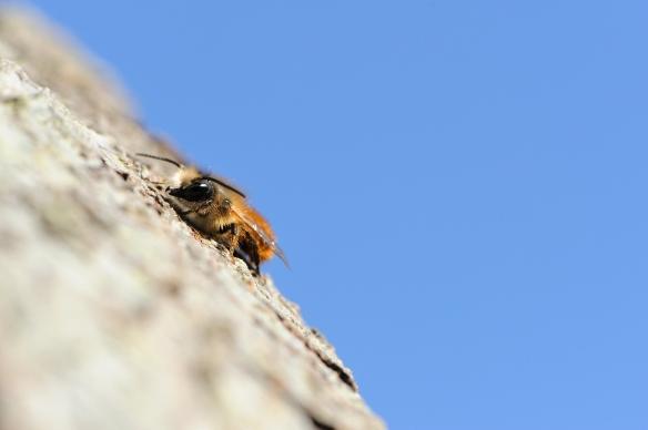 A male Red mason-bee (Osmia bicornis). Battleby. ©Lorne Gill/SNH
