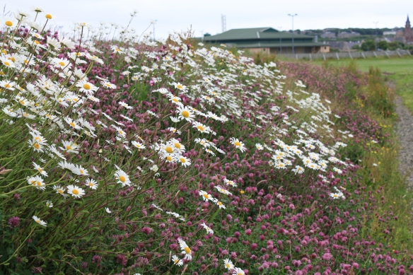 Wildflower embankment at Pickaquoy Leisure Centre_high res