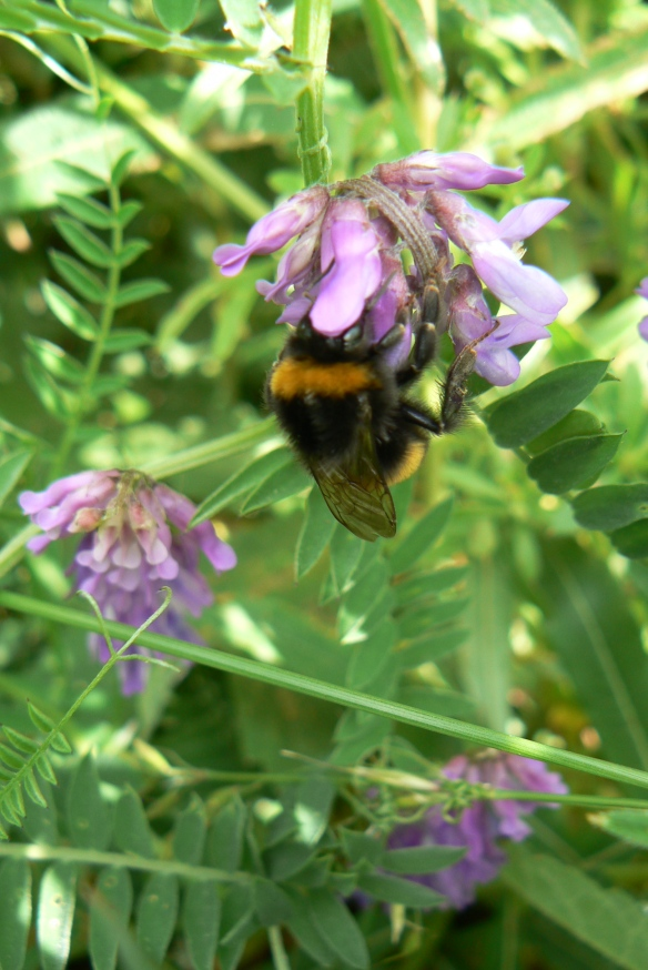 Buff-tailed Bumblebee on Vetch