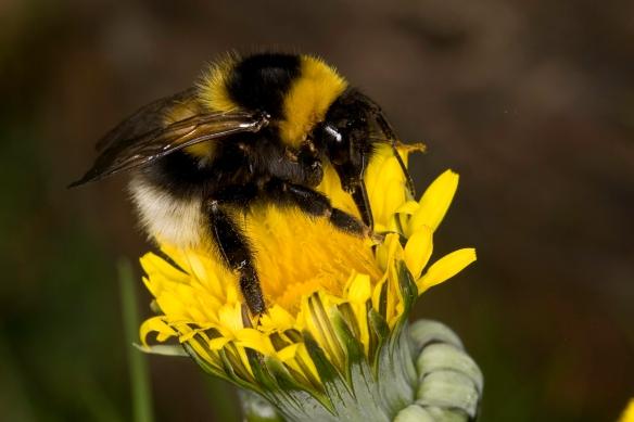 Garden Bumblebee, bombus horotorum