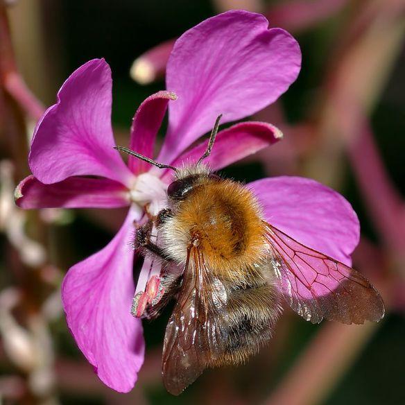 The common carder bumblebee Bombus pascuorum ©Creative Commons
