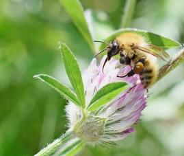 Taynish Pollinator Trail - common darter - DSC_4539