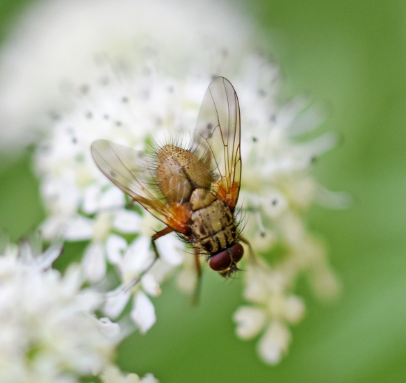 Taynish pollinator trail - fly DSC_4860