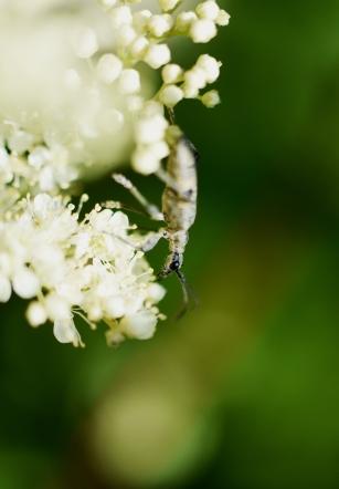 Taynish pollinator trail - longhorn beetle DSC_4934