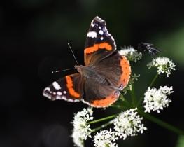 Taynish pollinator trail - red admiral DSC_4913