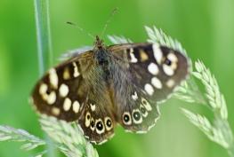 taynish pollinator trail - speckled wood DSC_4737