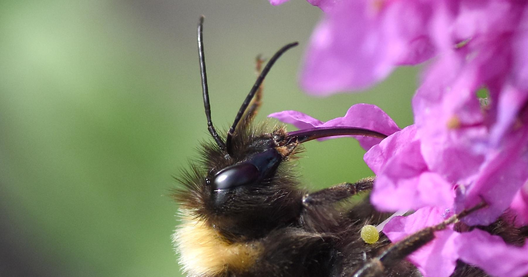 2019 Taynish Pollinator Trail - August - bee on purple loosestrife DSC_15461