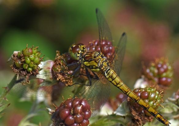 2019 Taynish Pollinator Trail - August - common darter on bramble DSC_1458
