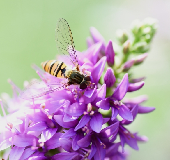 2019 Taynish Pollinator Trail - August - hoverfly on purple loosestrife DSC_1223