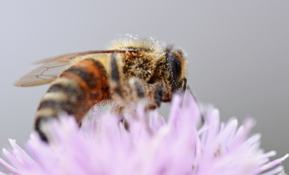 2019 Taynish Pollinator Trail - August - hoverfly or bee on knapweed DSC_8584
