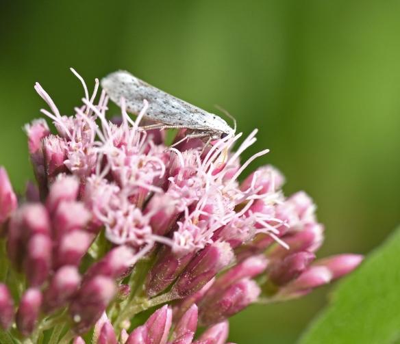 2019 Taynish Pollinator Trail - August - moth on hemp agrimony DSC_1415