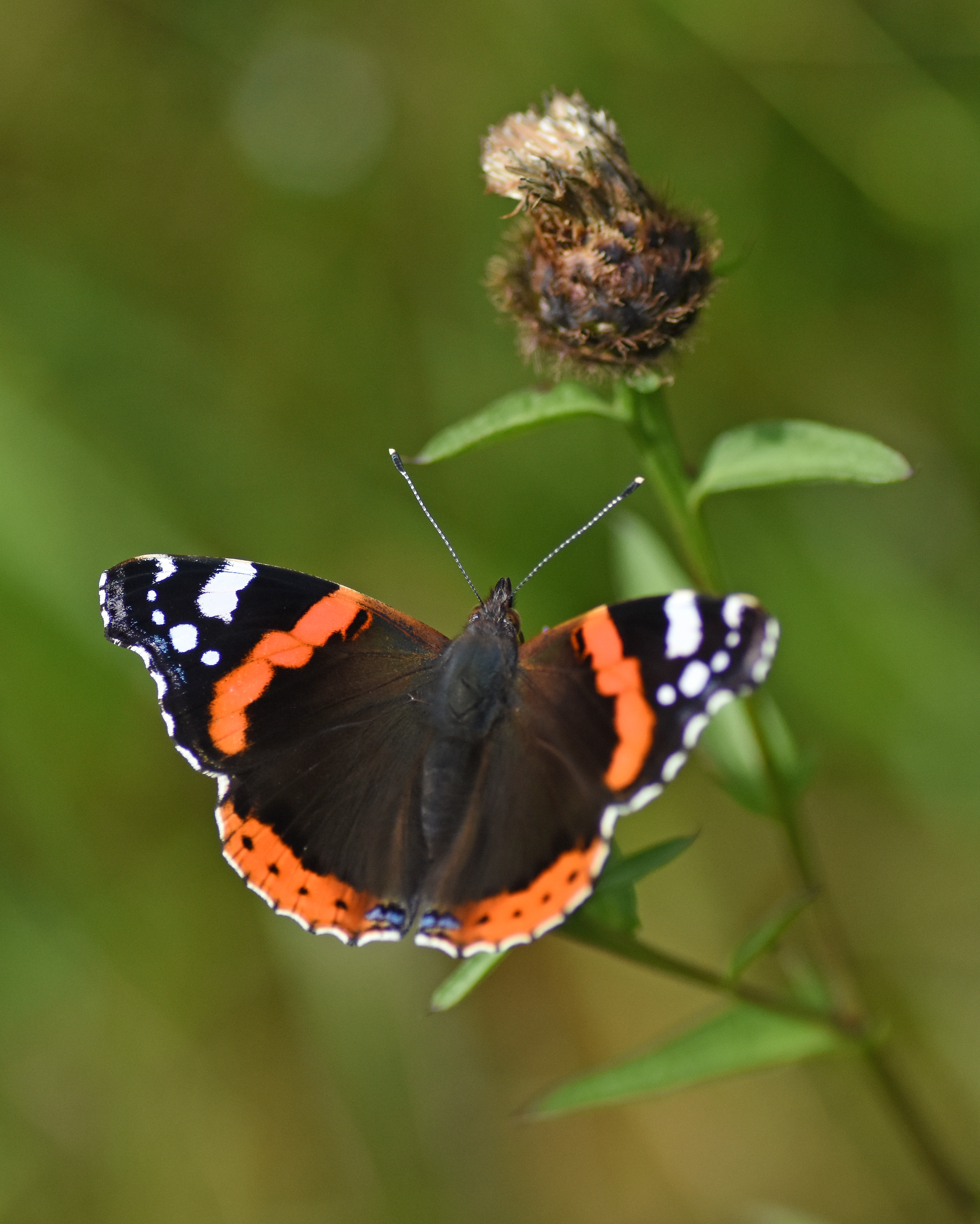 2019 Taynish Pollinator Trail - August - red admiral on knapweed DSC_1856