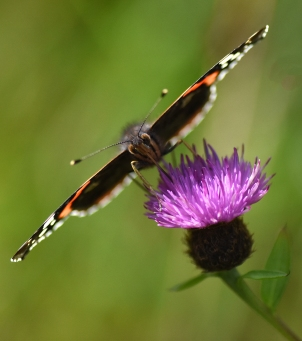 2019 Taynish Pollinator Trail - August - red admiral on knapweed DSC_1872