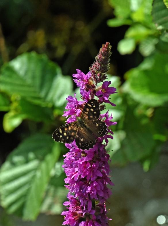 2019 Taynish Pollinator Trail - August - speckled wood on purple loosestrife DSC_1482