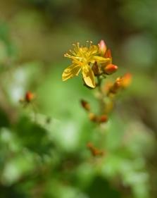 2019 Taynish Pollinator Trail - August - St Johns Wort -DSC_5884