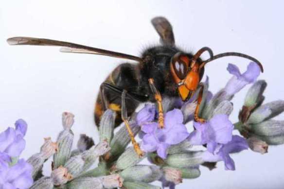 asian-hornet-1