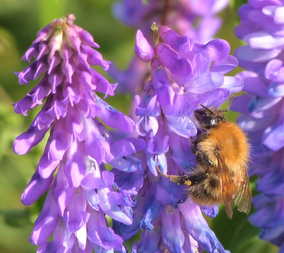 common carder bee on tufted vetch