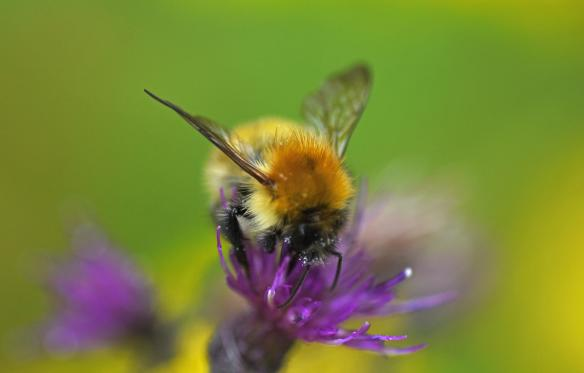 Taynish NNR Pollinator Blog September 2019_JPEG Image Original Size_m183321
