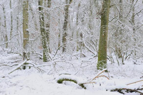 Snow covered woodlands, Battleby, Perthshire, January 2015. ©Lorne GIll/SNH