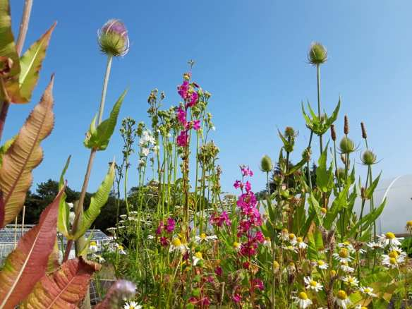 Recovery Garden Group - wild flowers july