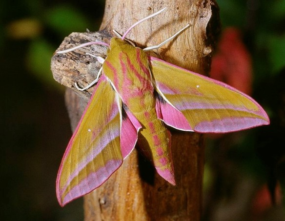 Elephant hawk moth © Wikipedia Creative Commons