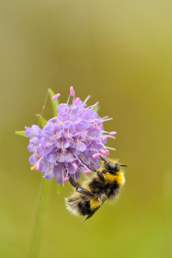 Bumblebee feeding on devil's bit scabious.©Lorne Gill