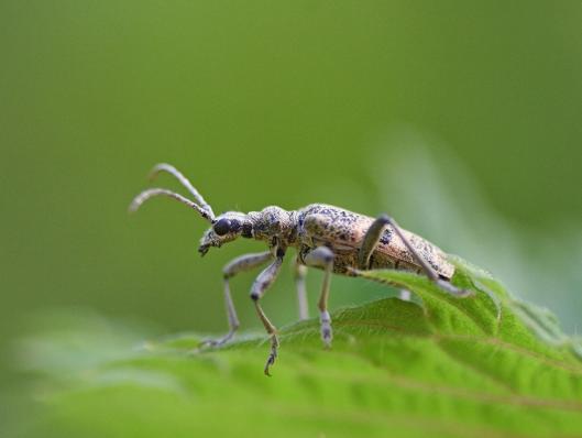 Black spotted longhorn beetle