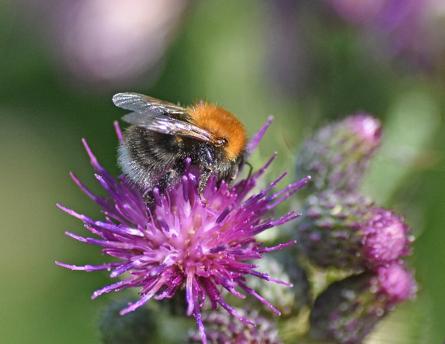 Tree bumblebee on Thistle