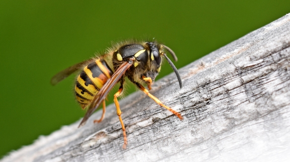 Wasps for Jim _m204018