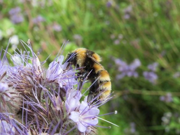 GYBB on phacelia - a planted super food, Amy Millard