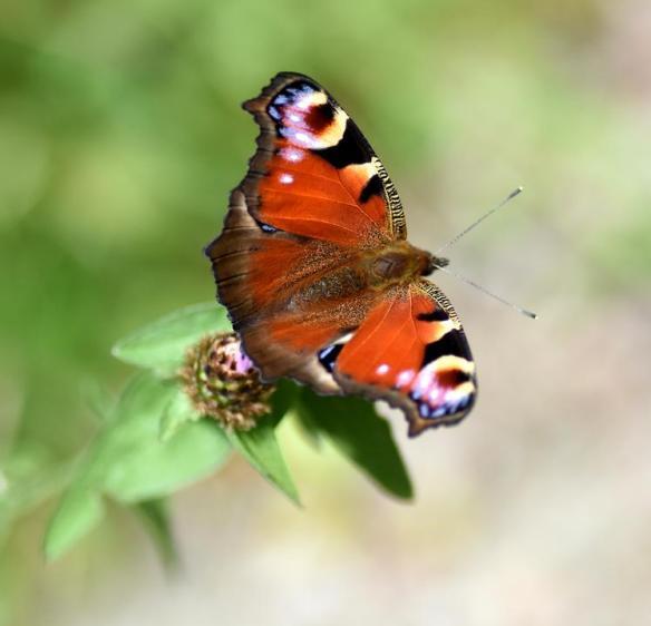 Pollinator Blog August 2020 _JPEG Image Height 720px_m208437