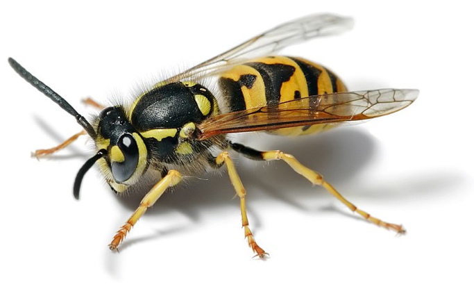An European wasp, a frequently cheated pollinator © User:Fir0002, Wikipedia Creative Commons